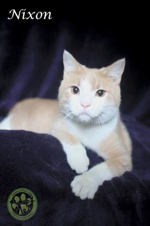 """Nixon"" is Rockland County Sheriff's Office Hi-Tor Pet of the Week. He is a 1-year-old male domestic short hair."