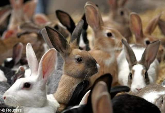 """The Red Hook Public Library is hosting the 4-H group """"Cool Critters."""" The program is Dec. 5, at 11 a.m. This group of experts will present a program about the different breeds of rabbits and how to care for them."""