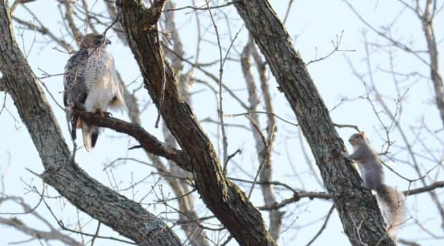 Len Greer snapped this photo of a squirrel getting dangerously close to a red tailed hawk.