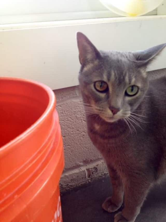 """The West Milford Animal Shelter is looking for a home for its """"office cat,"""" Kensi."""
