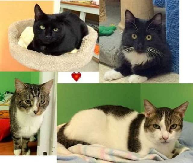 """Cats like Axle, Lucille, Bandit and Patches will be available to take home at Animal in Distress Cat Shelter's """"Take Me Home"""" adoption event Saturday."""