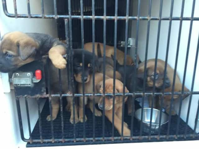 Bergen County Protect and Rescue saved these puppies and more than 40 more from a North Bergen home.