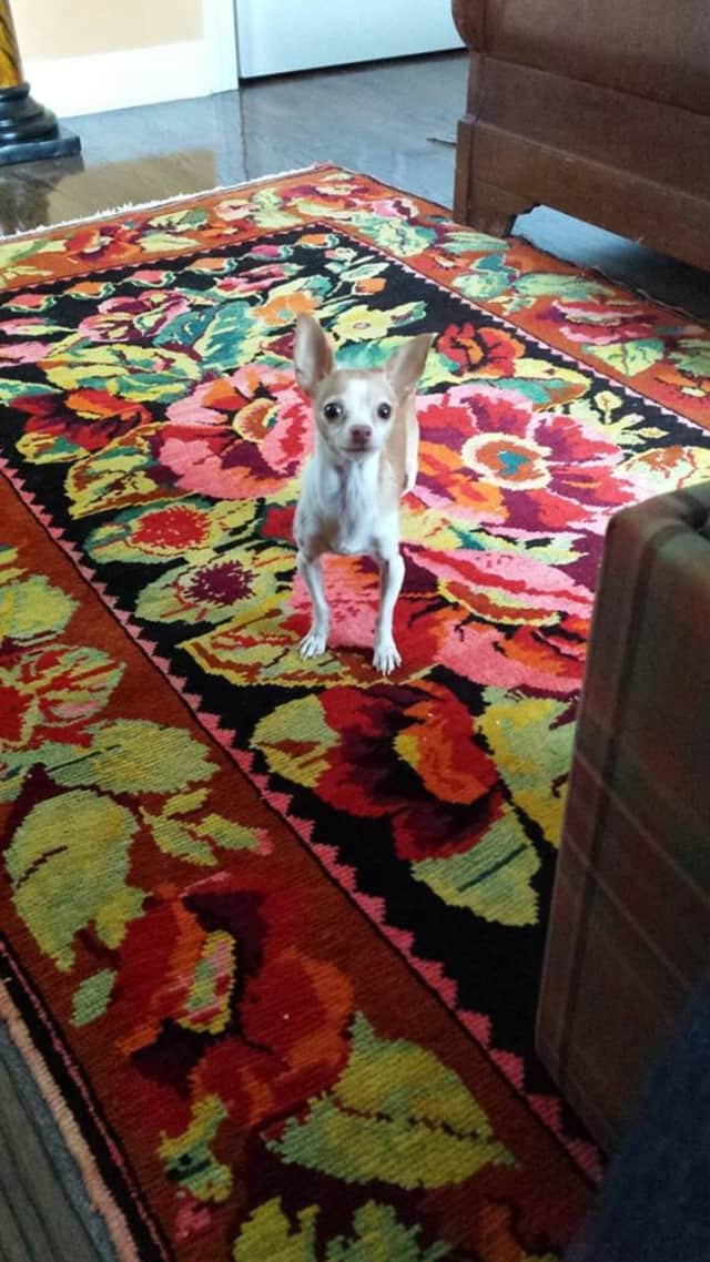 Chico the Chihuahua is looking for a new home.