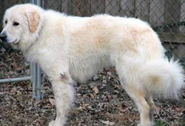 India, a Great Pyrenees, is missing