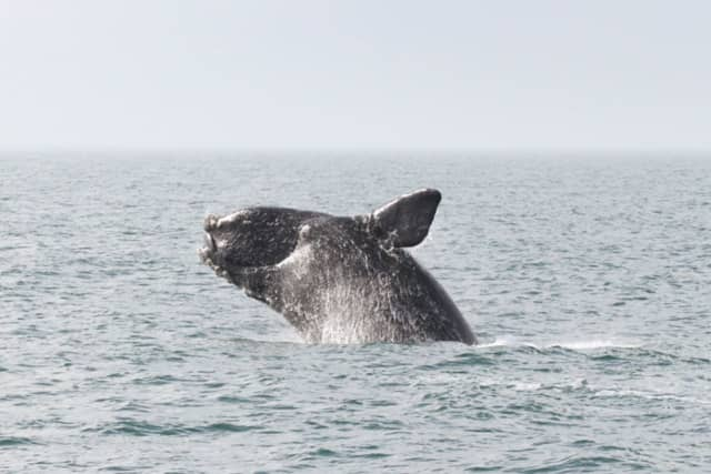 North Atlantic right Less than 400 North Atlantic right whale exist -- with less than 100 breeding females, NOAA Fisheries said.