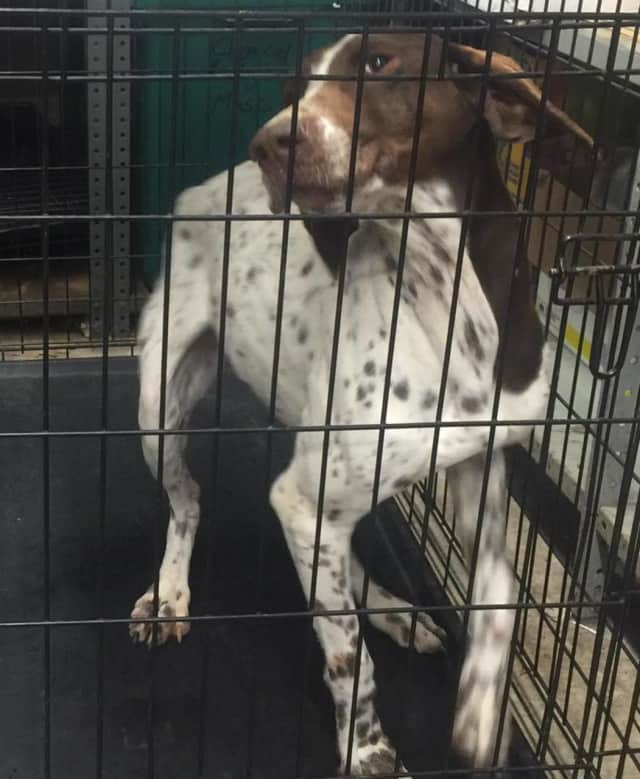 Stony Point police found this dog along Route 210 near the Palisades Interstate Parkway. He is being held at the police station.