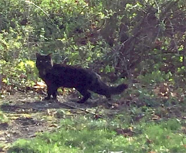 This long-haired black cat was found wandering in area of Warwick Road in Carmel.