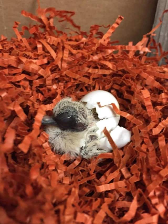 A baby morning dove hatches at the Franklin Lakes Animal Shelter.