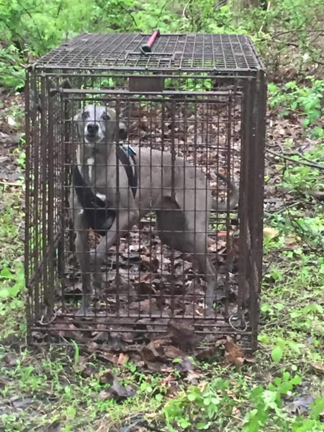 Voodoo has been safely captured after having run off.