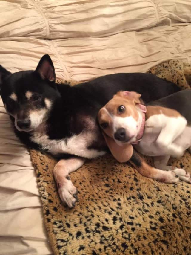Patron, a lost black Shiba Inu is missing from the Yonkers area. Residents are warned that he is not people- or pet-friendly.