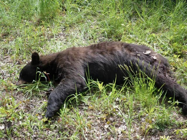 The second bear hunt has ended in North Jersey.