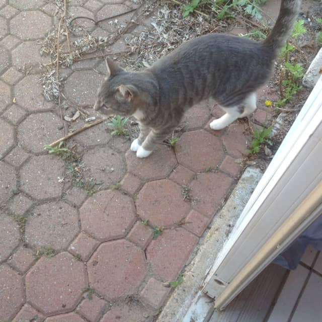A grey and white cat from Tarrytown is looking for his owners.