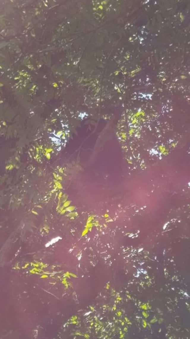 Officials are not sure if a bear that was tranquilized in a tree in Danbury on Friday morning and moved to the woods, is the same one that was hit and killed in Newtown later in the day.
