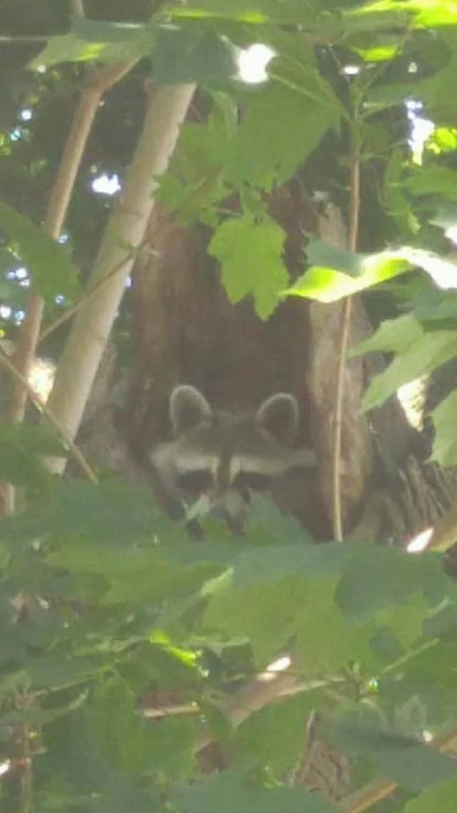A baby raccoon was rescued from a trap by local residents and Suffern police officers.