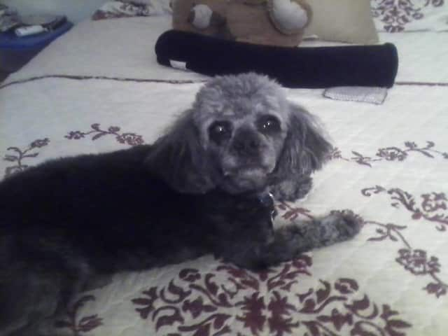Buddy the poodle has been missing from his Mount Vernon home since about 9 p.m. on Thursday, June 23.