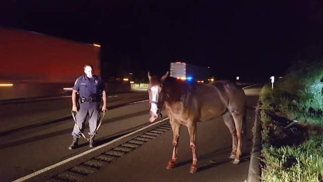 This horse was found on I-91 early Thursday after breaking out of his trailer.