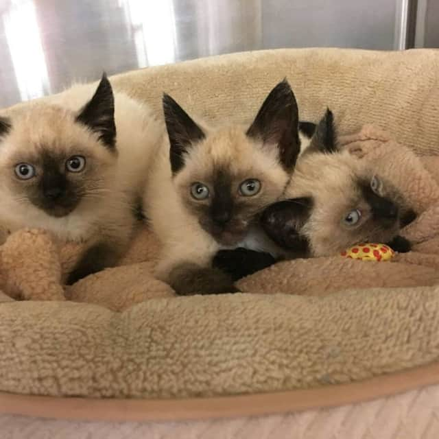 START II had a litter of Siamese kittens up for adoption this summer.