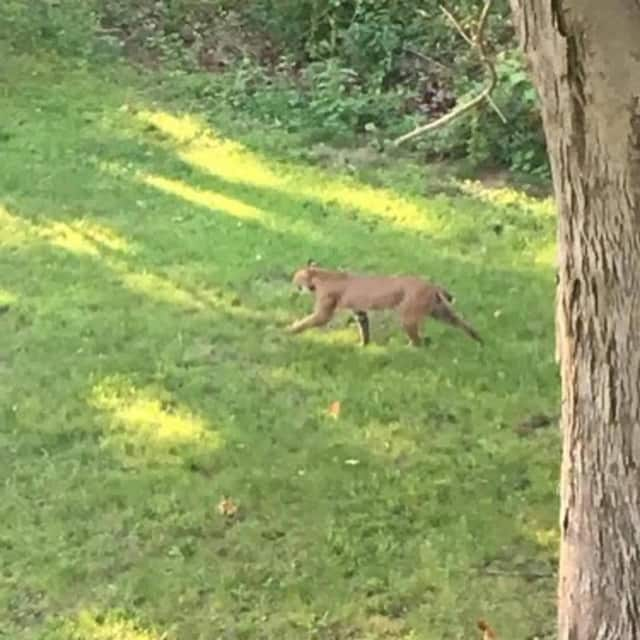 Brookfield police posted this photo of a bobcat spotted in a neighborhood.
