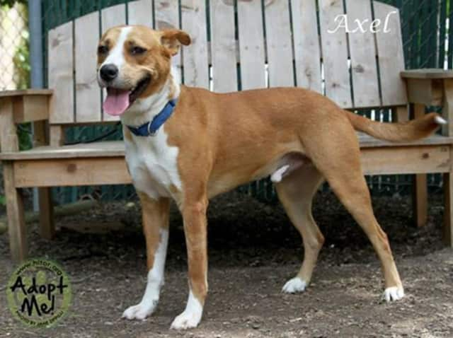 Axel, a terrier/hound mix, is the Hi Tor Animal Care Shelter's Pet of the Week.