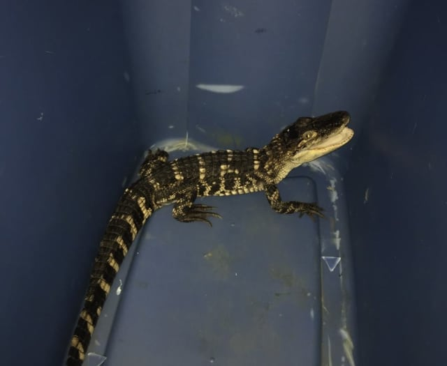 Connecticut State Environmental Conservation Police found an American alligator that was kept as a pet at a home in New Hartford.