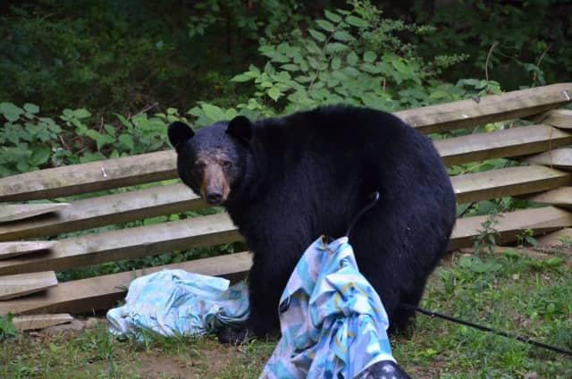 This bear was spotted in Trumbull, Conn., on Thursday. A mother and three young bears were in a Pomona yard Saturday.