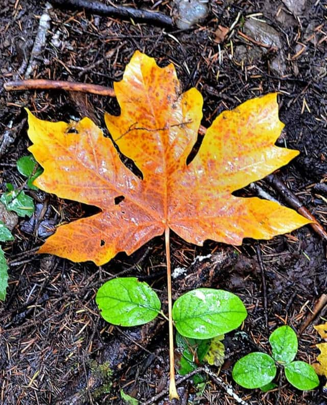 An old wives tale says if the leaves are slow to fall, be prepared for a cold winter.