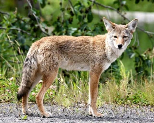 A likeness of the coyote that was seen.