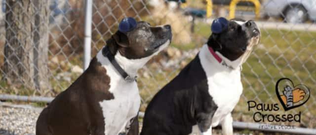 Rocky and Baxter celebrate their Bark Mitzvahs