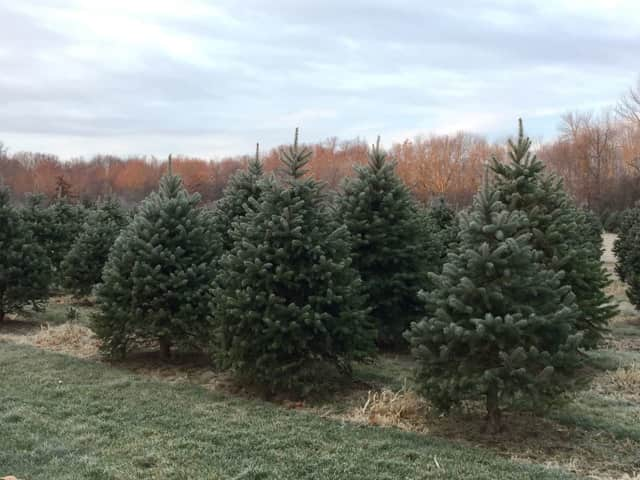 Solvang Tree Farm in Poughkeepsie is one of many area tree farms worth the drive from Rockland.