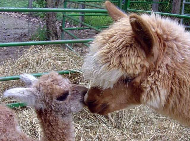 Rock Ridge Alpaca Farm in Chester is a great place to take the kids.