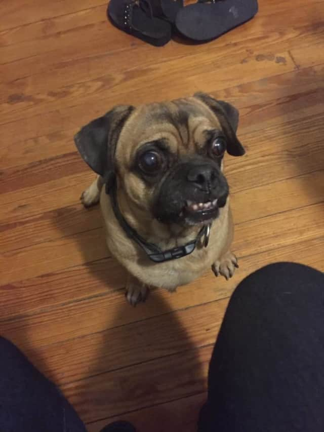 Tiki the dog is lost in Mount Vernon and her owner is desperate to have him returned home.