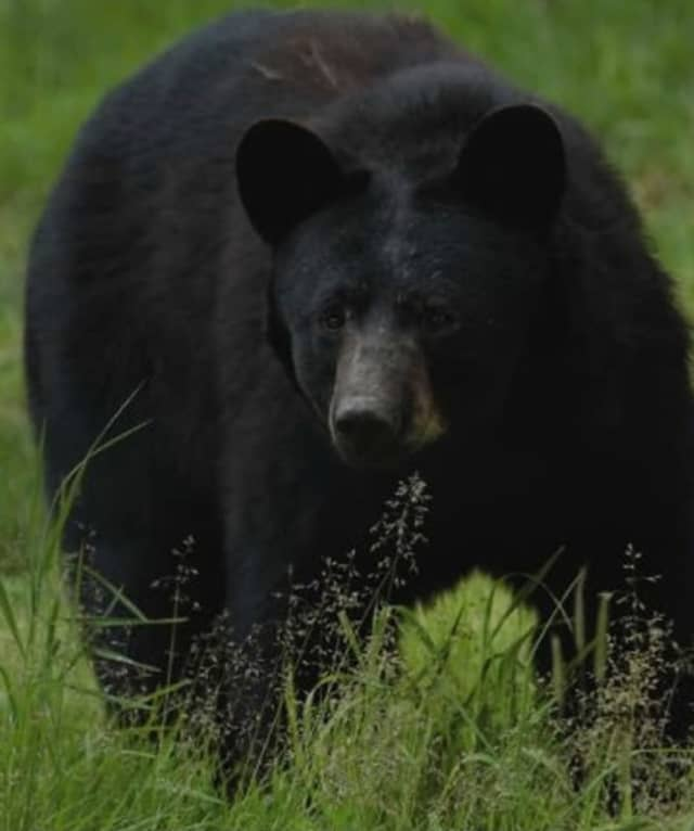 A black bear is on the loose in Peekskill.