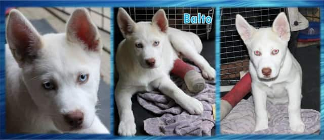 Balto needs a home. Contact Southern Paws Inc. in Ringwood.