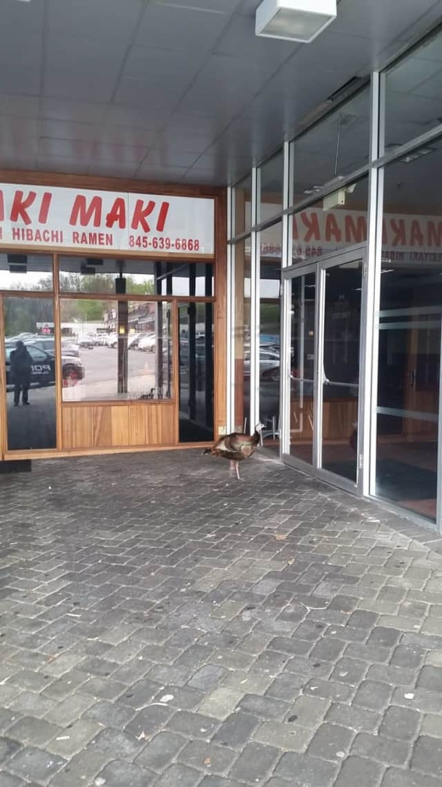 Tom the Turkey was spotted outside a restaurant in New City.