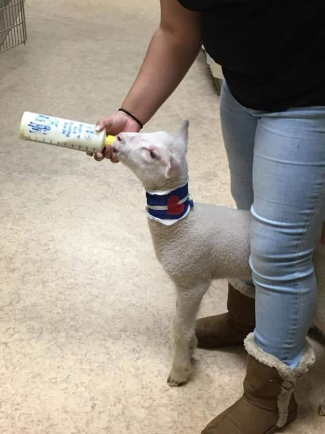 A baby lamb is being cared for by the Franklin Lakes Animal Hospital.