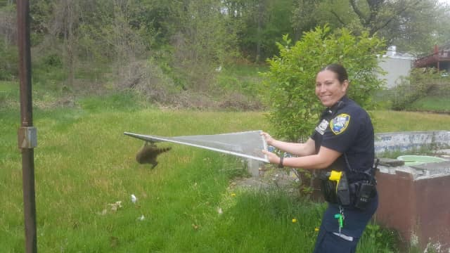 Ossining Police Officer Hirshowitz with the rescued raccoon.