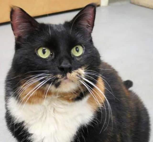 Prissy is a 10-year-old cat looking for a home.