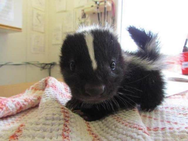 NJ Exotic Pets in Lodi is taking orders for skunks and other animals.