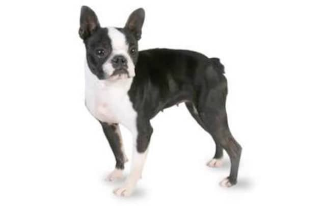 Ridgefield Police found an injured dog that looks similar to this Boston Terrier on Danbury Rd. They are seeking its owner.