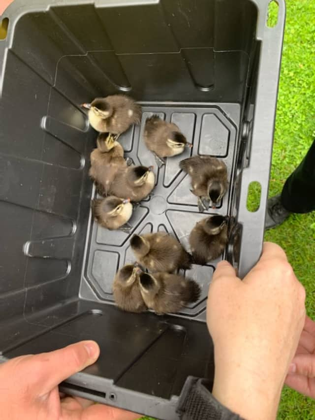 The ducklings following their rescue.