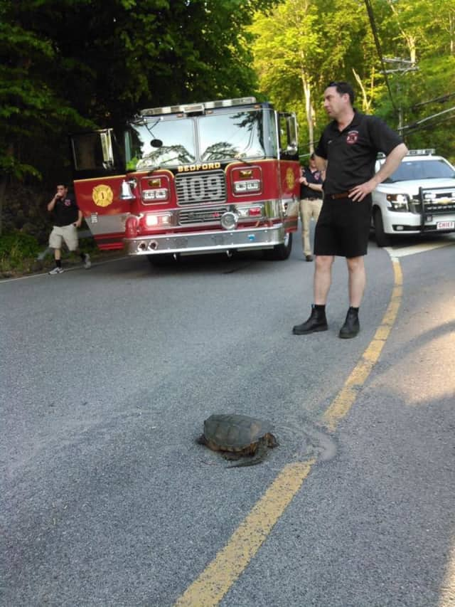 Bedford Fire Chief Shawn Carmody helps a snapping turtle cross the road.