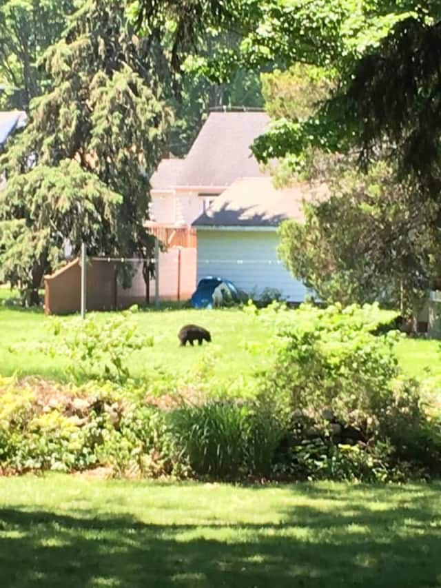 Multiple bear sightings have been reported recently in Milford.