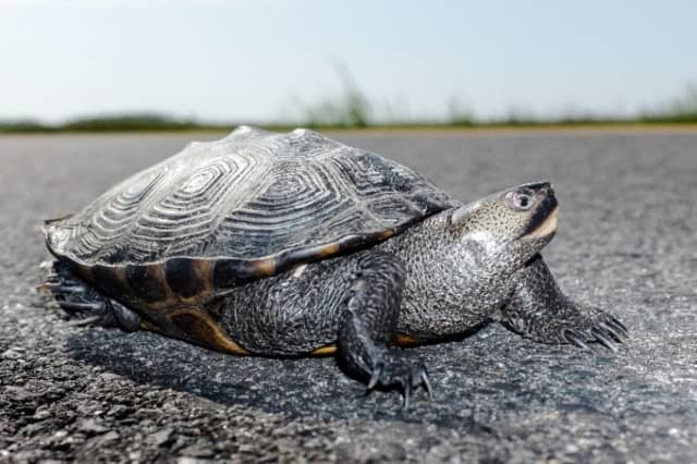 A turtle briefly brought traffic to a stop along I-287 in Boonton Wednesday morning.