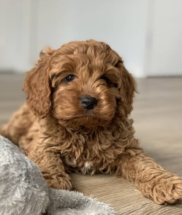 A Scarsdale woman was scammed attempting to purchase a cavapoo (not the one pictured) puppy online.