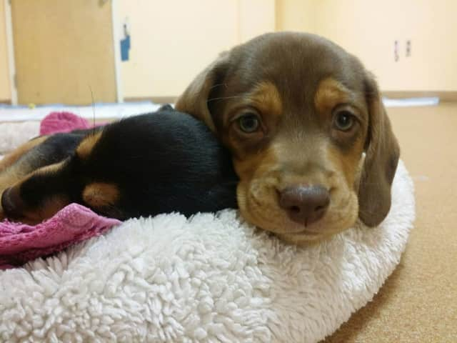 Norwalk PAWS has six beagle mix puppies that are almost ready for adoption.