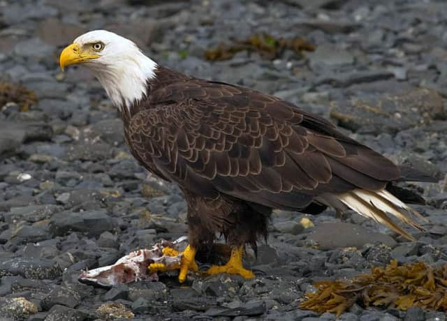 A live eagle will be on hand at the Trumbull Library on March 6.