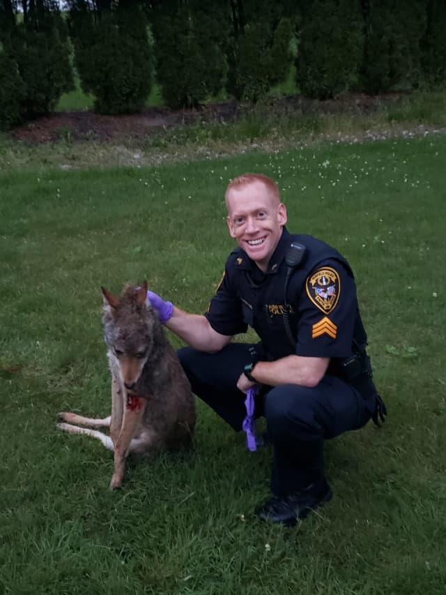 Fairfield Sergeant Frank Tracey fired several shots, striking the coyote dead.