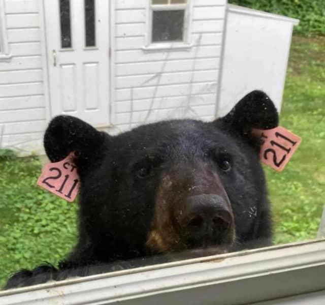 A shot of Bear 211 peeking in a window.