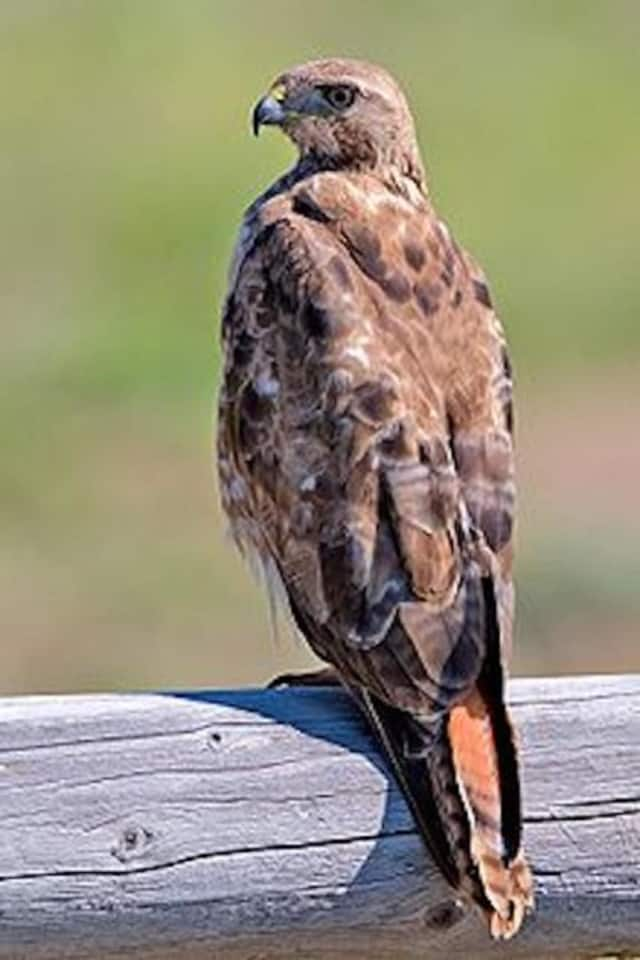 A hawk who was attacking people in Fairfield County has been captured.