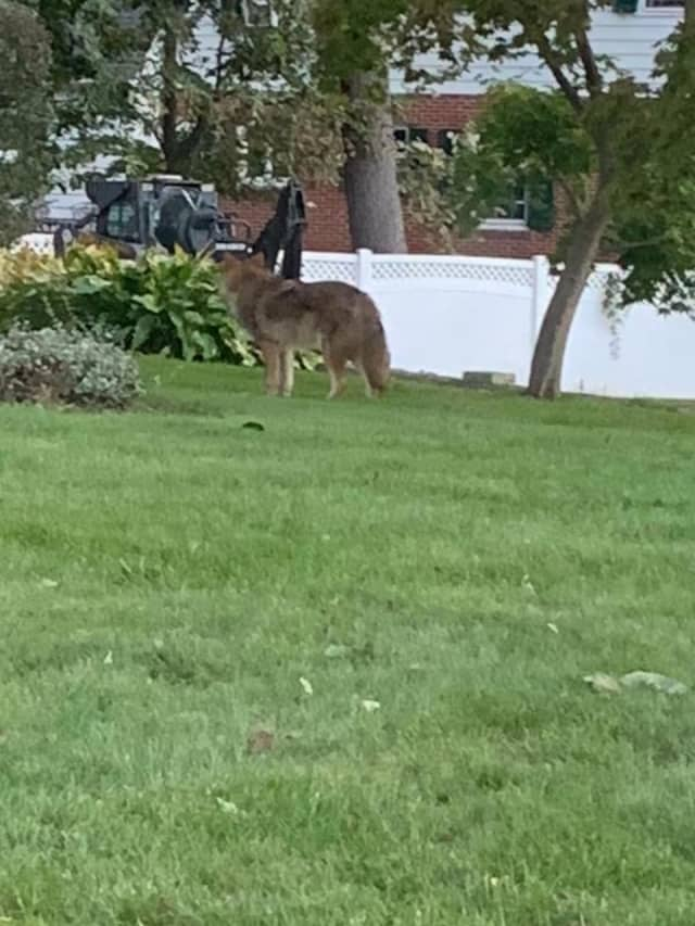 This coyote was spotted in the backyard of a New Rochelle home.